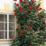 Jak správně pěstovat popínavé růže