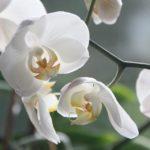 Jak se starat o domácí orchideje