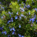Pěstování rozmarýnu v květináči