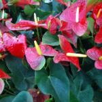 Anturie – Jak pěstovat a správně se o ni starat?