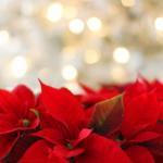 Vánoční hvězda – Jak pěstovat, aby vydržela mnoho let?